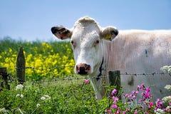 Белая корова рассматривая загородка