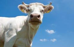 Белая корова Стоковые Изображения RF