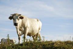 Белая корова Стоковая Фотография