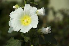 белая красивая весна листьев зеленого цвета цветка стоковая фотография rf