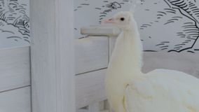 Белая красивая голова поворота павлина, взгляд вокруг Стоковое Изображение RF