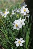Белая красота цветет фото вертикали весны Стоковые Фото