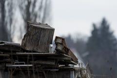 Белая крыса ласки грызуна в дворе старья стоковая фотография rf