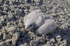 Белая куропатка канюка птенеца, хищная птица Стоковая Фотография