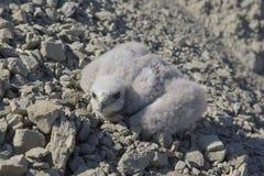 Белая куропатка канюка птенеца, хищная птица Стоковые Фото