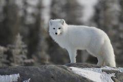 Белая куропатка лисицы песца в белом пальто зимы вытаращить на камере пока стоящ на большом утесе с деревьями на заднем плане, Стоковая Фотография