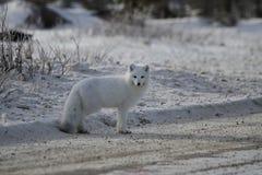 Белая куропатка лисицы песца стоя на стороне дороги гравия около Черчилля Стоковое фото RF
