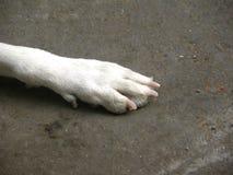 Белая лапка цвета бездомной собаки на дороге Стоковые Изображения RF
