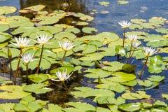 Белая лилия воды звезды, nouchali Nymphaea стоковая фотография