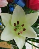 Белая лилия в цветении с красивой серединой Стоковая Фотография RF