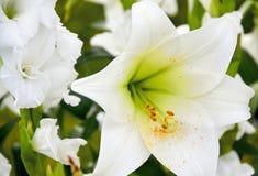 белая лилия для wedding Стоковые Изображения RF