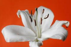 Белая лилия изолированная на черной предпосылке стоковые изображения