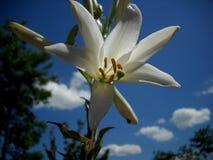 Белая лилия и голубое небо Стоковое фото RF