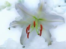 Белая лилия на белой предпосылке стоковое фото