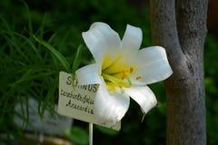 Белая лилия перед стволом дерева Стоковая Фотография