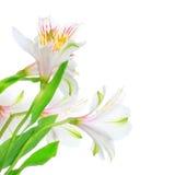 Белая лилия Стоковое Фото