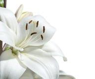 Белая лилия. Стоковые Изображения
