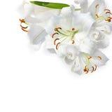 Белая лилия Стоковые Фотографии RF