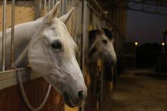 Белая лошадь в конюшне стоковые фотографии rf