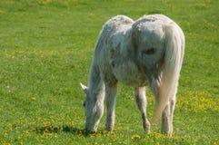 Белая лошадь в лужке Стоковая Фотография RF