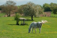 Белая лошадь в лужке Стоковое Изображение RF