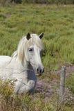Белая лошадь в Camargue, Франция стоковое изображение
