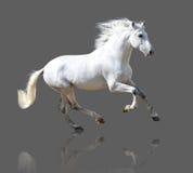 Белая лошадь изолированная на сером цвете