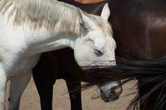 Белая лошадь и коричневая лошадь лаская Стоковые Фотографии RF