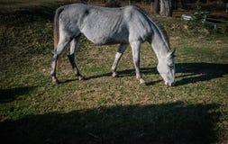 Белая лошадь на зеленом поле, бортовом изображении стоковая фотография rf