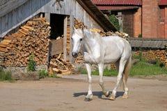 Белая лошадь на сельском дворе стоковое фото rf