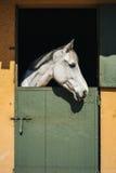 Белая лошадь на ферме Стоковые Фотографии RF