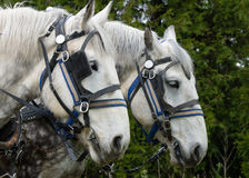 Белая лошадь плужка Стоковое фото RF