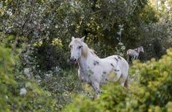 Белая лошадь стоит в кустах в национальном парке Camargue в Франции стоковая фотография