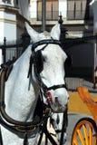 Белая лошадь с уздечкой, Севильей, Испанией стоковая фотография rf