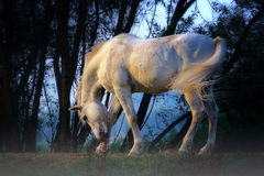 Белая лошадь Стоковая Фотография RF