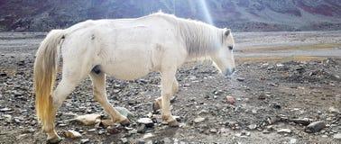 Белая лошадь стоковые фотографии rf