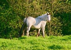 Белая лошадь Appaloosa Стоковые Изображения