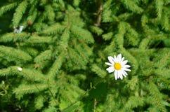 Белая маргаритка в лесе стоковая фотография
