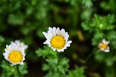 Белая маргаритка в саде стоковое изображение