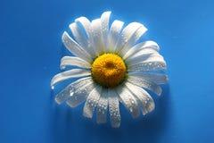 белая маргаритка на голубых падениях воды предпосылки, цветах лета Стоковая Фотография RF
