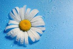 белая маргаритка на голубых падениях воды предпосылки, цветах лета Стоковое Изображение RF
