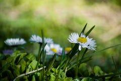 Белая маргаритка на зеленом поле Цветок маргаритки - одичалый стоцвет Белые маргаритки в саде Perennis Bellis стоковые фото