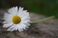 Белая маргаритка на планке стоковая фотография