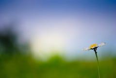 Белая маргаритка на цветастой запачканной предпосылке Стоковое Изображение RF