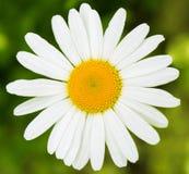 Белая маргаритка, одиночная зацветая белизна, предпосылка, чистый, простой символ стоковая фотография
