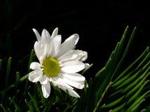 Белая маргаритка, черная предпосылка Стоковые Изображения RF