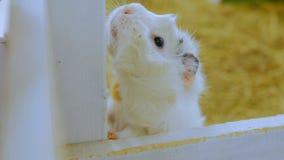 Белая морская свинка Стоковая Фотография RF