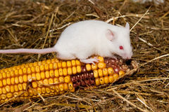 Белая мышь стоковое изображение rf