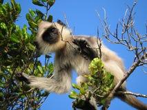 Белая обезьяна в естественной среде обитания зеленого дерева, парка острова Шри-Ланка стоковое изображение rf