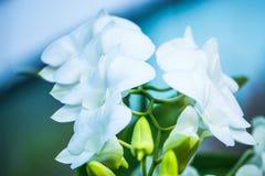 Белая орхидея в строке с светом утра стоковые фотографии rf